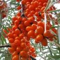 Царська ягода - джерело краси: масло обліпихи в косметології