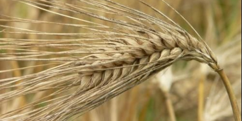 Лікувальні рецепти на основі зерна ячменю.