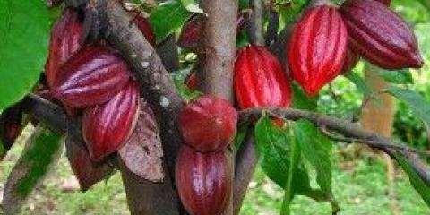 Райське блаженство: масло какао для волосся