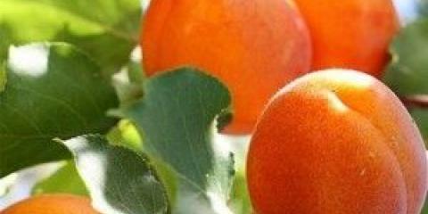 Чудові властивості абрикосового масла